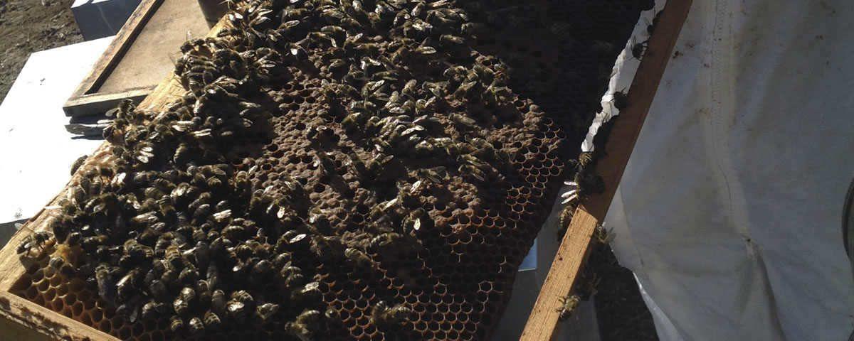 La fascinante historia de encontrar a una abeja reina Urban Apicultura